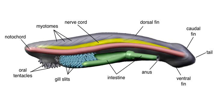 A Gene Catalogue Of The Amphioxus Nervous System