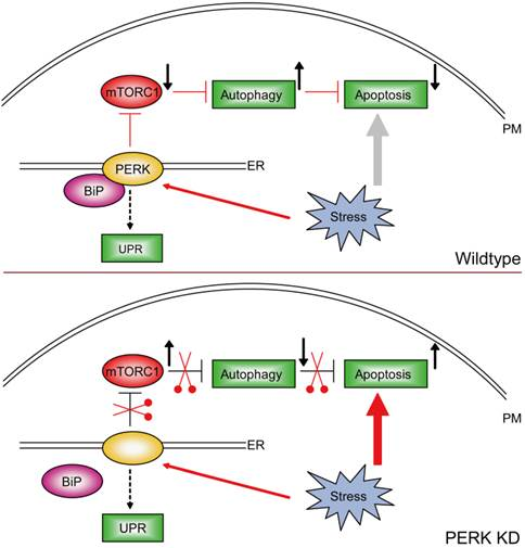 applying autophagy and apoptosis for strategies to Apoptosis, historically referred to as necrobiosis or single cell necrosis, is commonly called cell suicide in other words, the cell carefully and deliberately 'programs' and executes its own death.