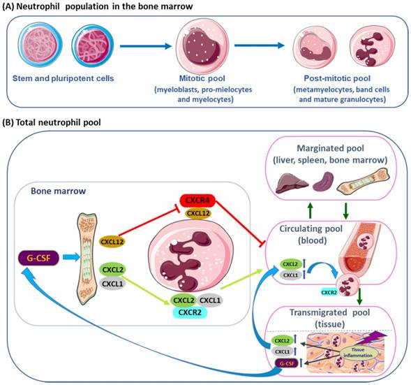 Neutrophil Elastase Inhibitors And Chronic Kidney Disease