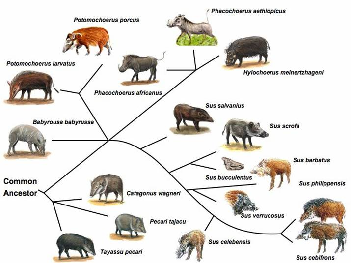 wild boar life cycle diagram genetic resources  genome mapping and evolutionary  genetic resources  genome mapping and evolutionary