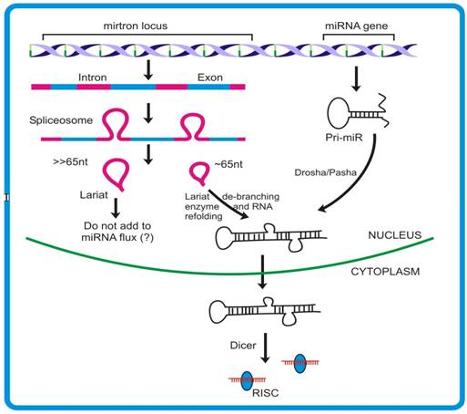 difference between sirna and mirna pdf