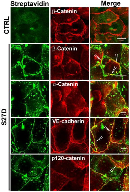 The Presence Of Alpha Catenin In The Ve Cadherin Complex