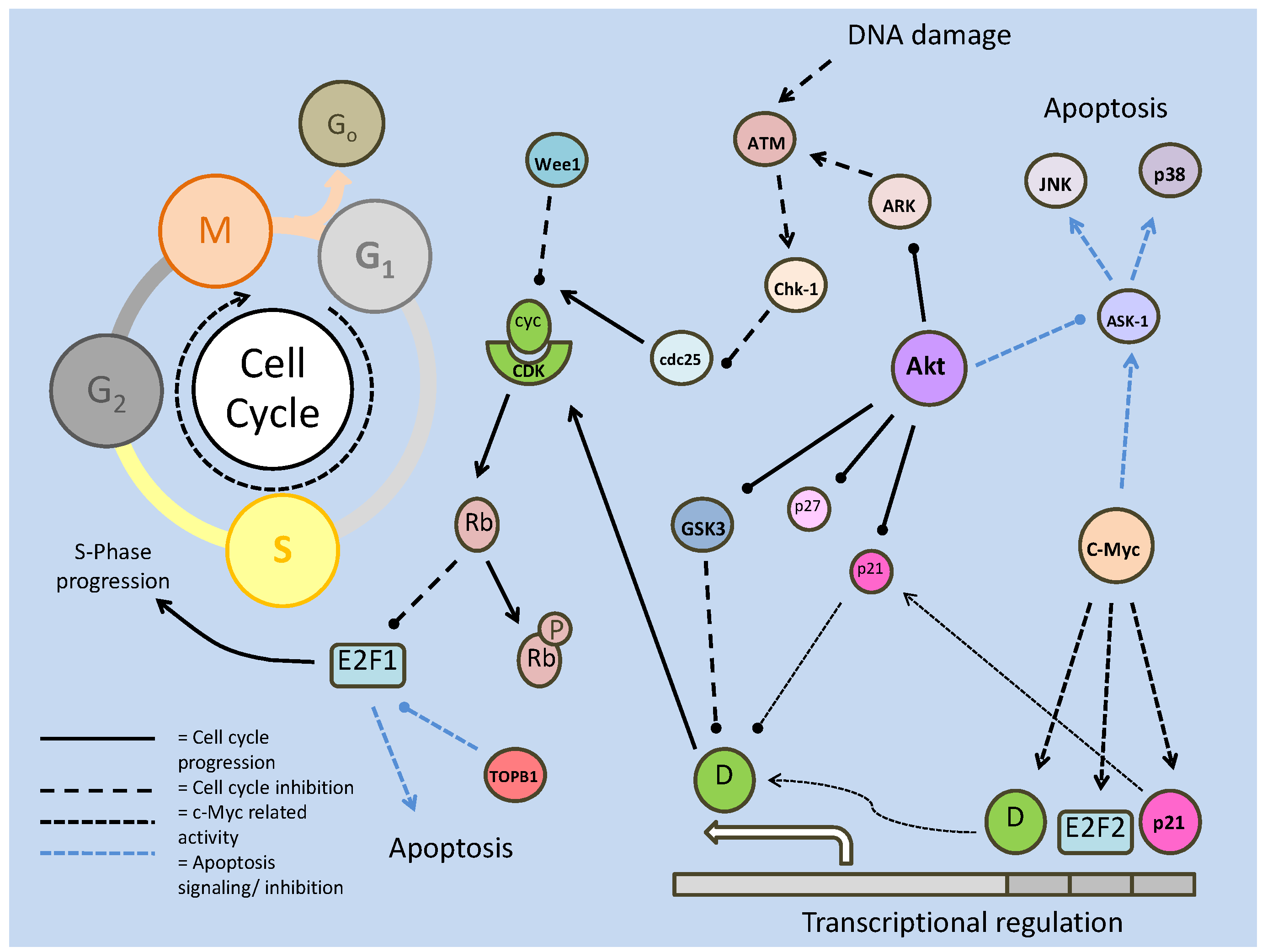 cell cycle regulation genetics Cell cycle regulation and exit this is the first genetic evidence linking microtubules and cell cycle progression is regulated by the sequential.