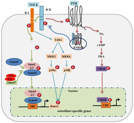 BMP1 (gene)
