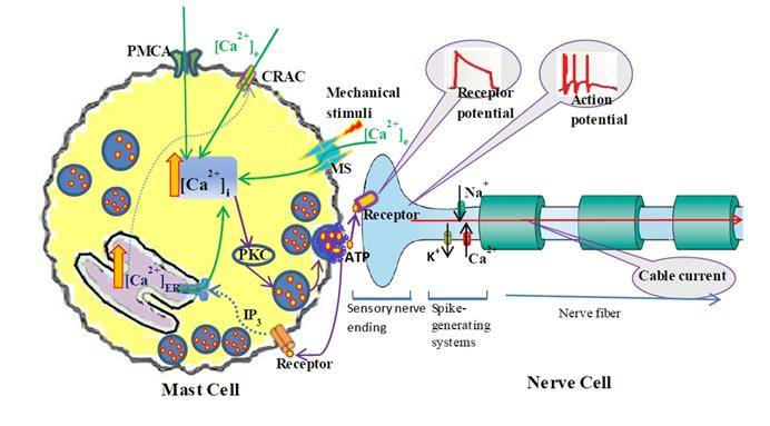 Mast Cell Nerve Cell Interaction at Acupoint Modeling