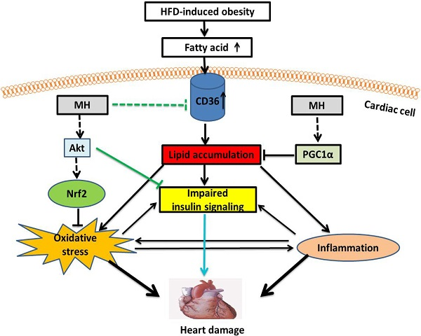 A Mouse Model of Diet-Induced Obesity and Insulin Resistance