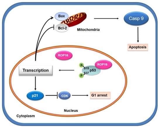 Cell Biology 11: Apoptosis & Necrosis