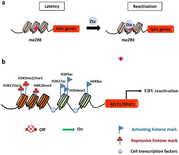 Epstein-Barr virus lytic reactivation regulation and its