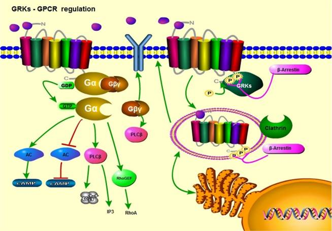 The Role of G Protein-coupled Receptor Kinases in Cancer