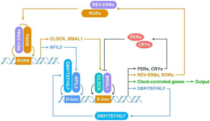 Extracellular Vesicles: Potential Participants in Circadian