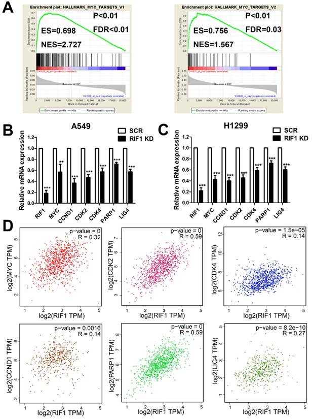 Effect of RIF1 on response of non-small-cell lung cancer