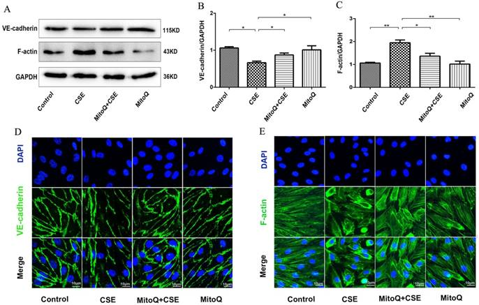 The Antioxidant MitoQ Protects Against CSE-Induced Endothelial
